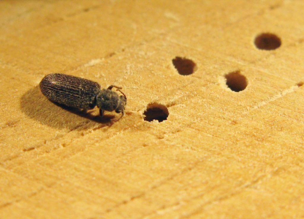 ξυλοφάγο έντομο και μικρές τρύπεςστην επιφάνεια του φύλινου δαπέδου